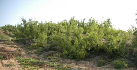 生长在遍地的酸枣树